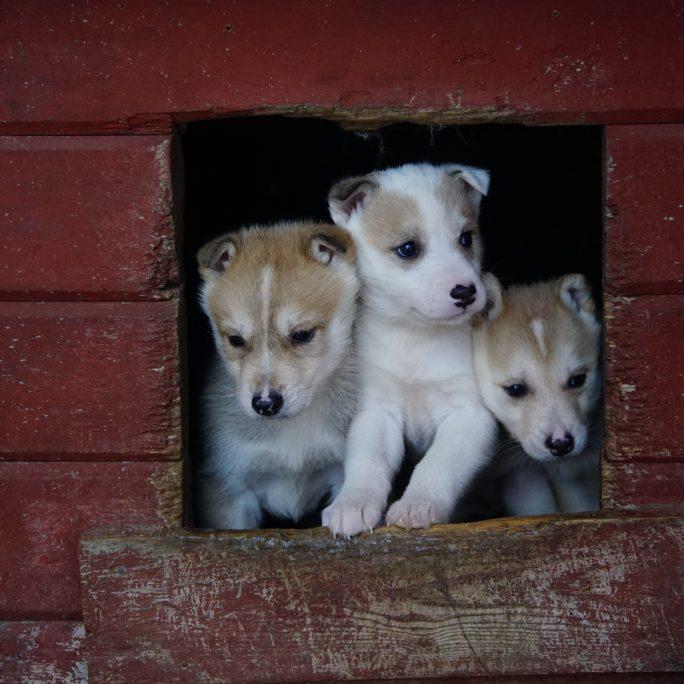 Per Schlittenhund durch die Wildnis Lapplands (FIH5)