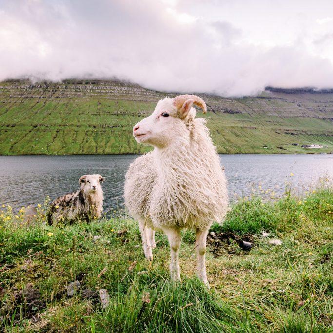 Herbstreise mit Schafabtrieb in Island (ISA7)